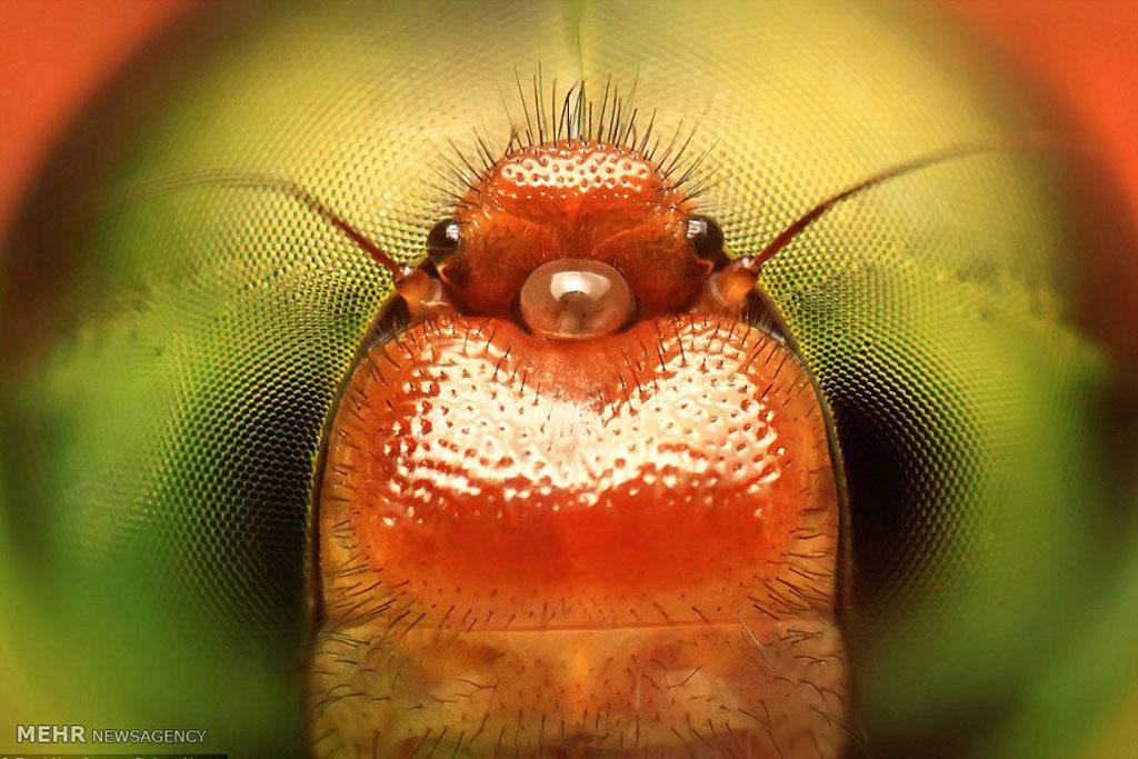Cận cảnh phần miệng của chú chuồn chuồn.