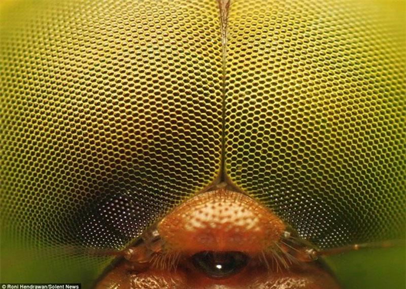 Đây là đôi mắt kép của một con chuồn chuồn. Mắt chứa hàng ngàn tế bào phát sáng ommatidia. Những tế bào này khá nhạy cảm trước ống kính.