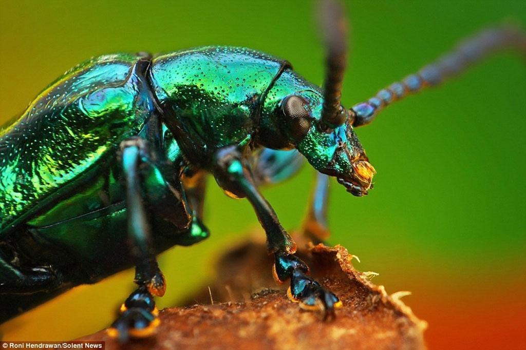 Bọ cánh cứng màu với chiếc áo giáp xanh lá cây dạ quang cực lung linh.