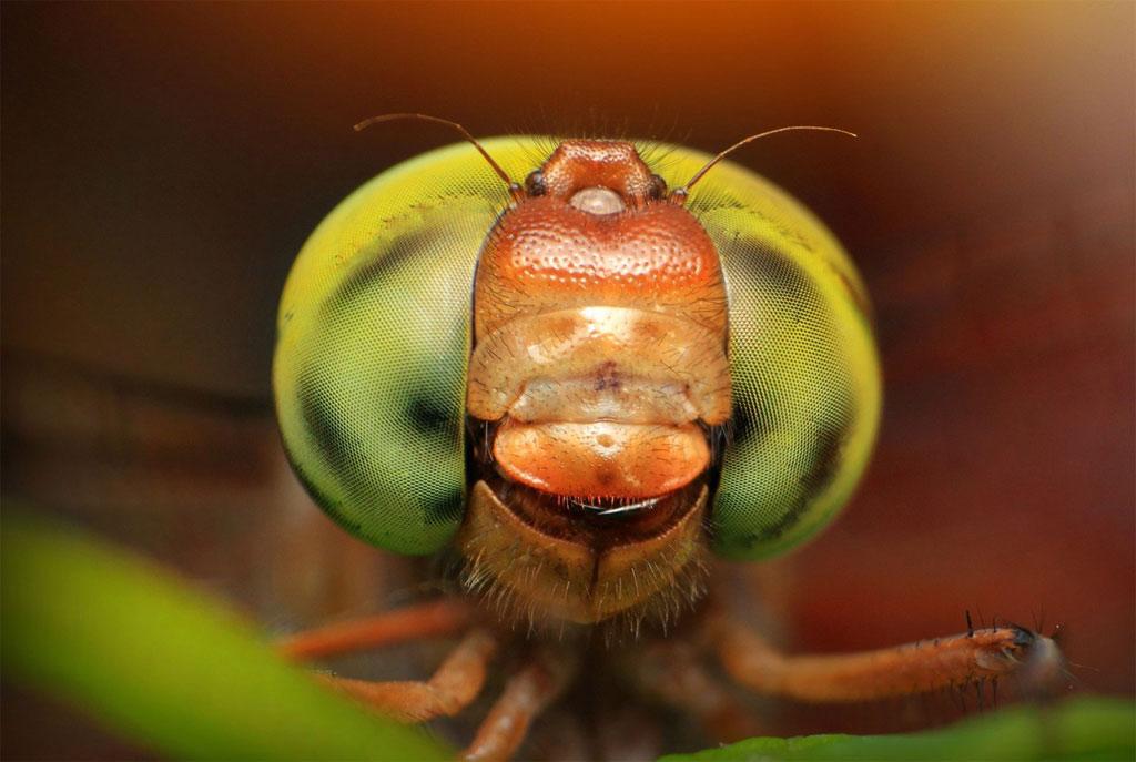 Một con chuồn chuồn khác tự tin với đôi mắt xanh lá vàng.