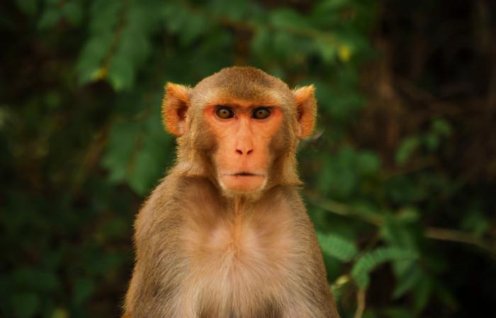Virus Zika được phát hiện đầu tiên trên loài khỉ Rhesus.