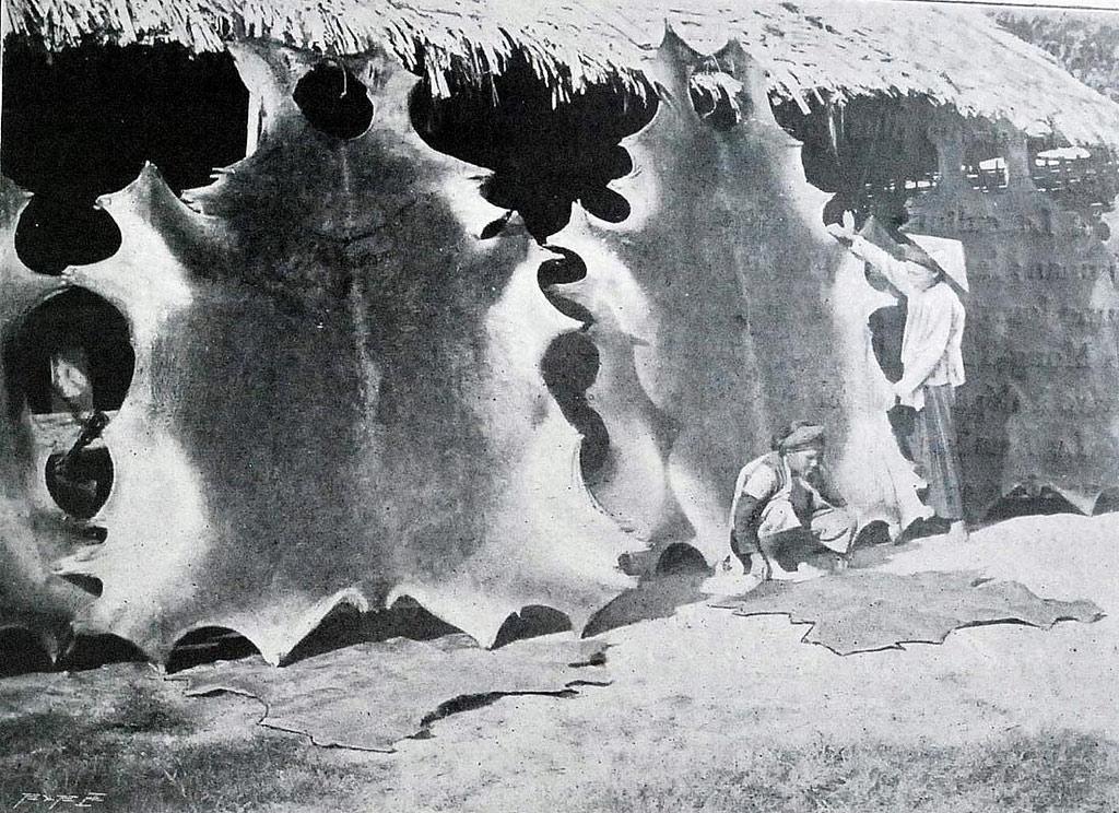 Xưởng thuộc da trâu bò với những tấm da lớn được căng rộng.