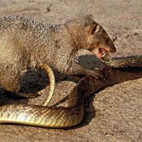 """7 loài săn mồi ăn thịt rắn độc như... """"ăn kẹo"""""""