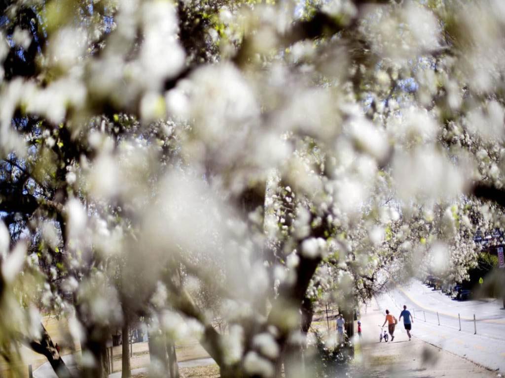 Người đi bộ đi ngang qua công viên Piedmont, Atlanta, với những hàng cây đang nở hoa tuyệt đẹp.