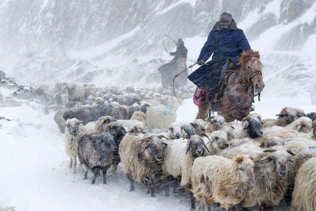 Người dân Kazakhs lùa đàn cừu đi tránh bão tuyết ở Yili, khu tự trị Xinjiang Uighur