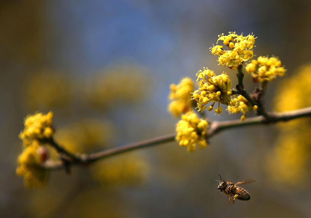 Một chú ong bay nganh qua cành hoa của cây phù du châu Âu, ở Cologne, Đức