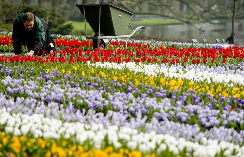 Một người làm vườn chăm chút cho từng bông hoa tuy-líp trên cánh đồng ở Keukenhof, Lisse, Hà Lan