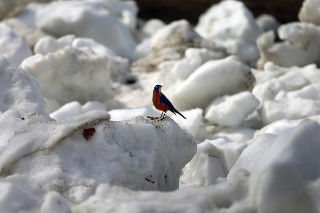 Một chú chim cổ đỏ đậu trên đống tuyết đang tan dần ở Boston Common