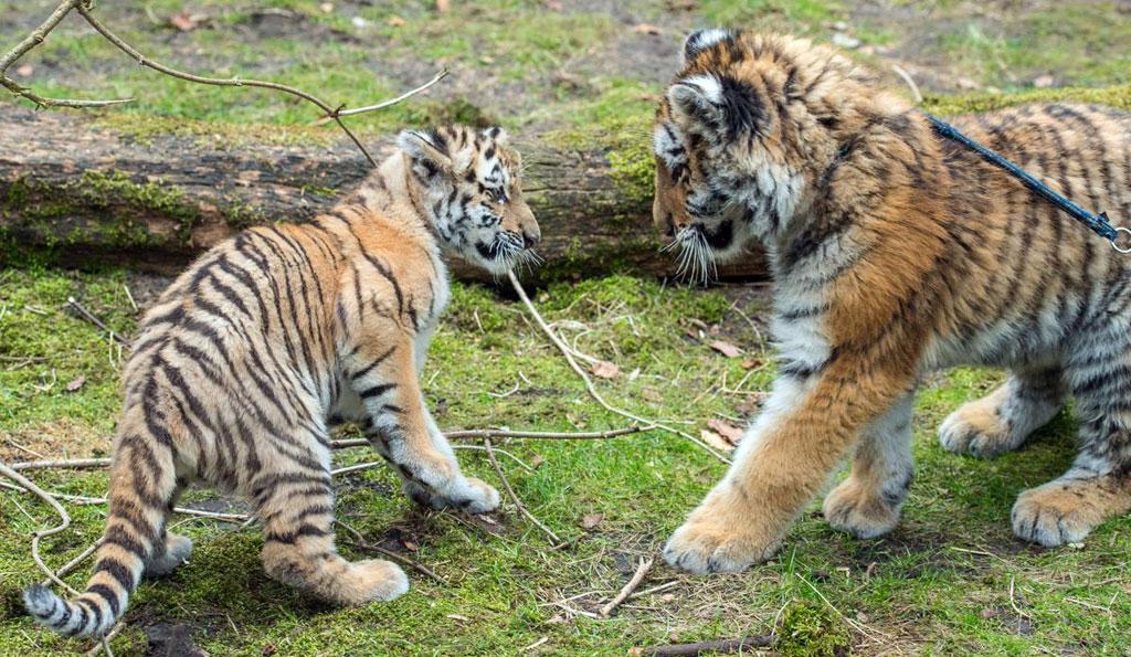Chú hổ con Alisha và chú hổ trưởng thành Dragan gặp nhau lần đầu tiên ở sở thú Eberswalde, Đức