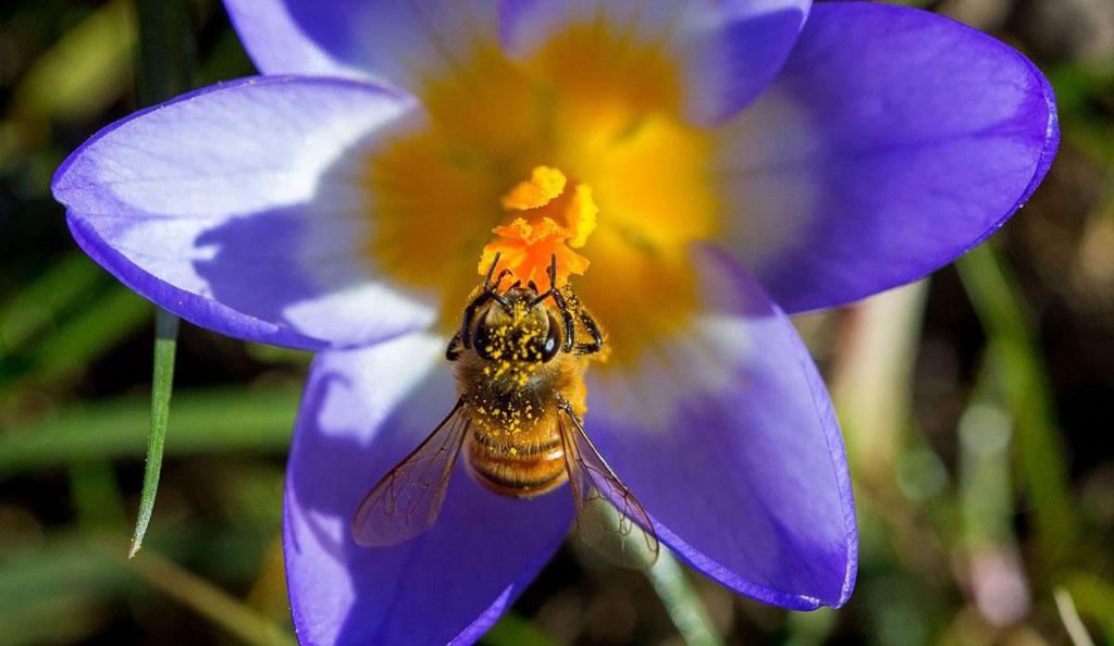 Một chú ong bận rộn đi lấy phấn hoa trên một bông hoa nghệ tây khi những ngày mua Xuân bắt đầu ở Timmendorf, Đức.