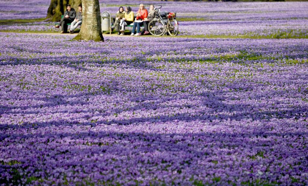 Hoa nghệ tây nở kín trên một khu đất ở Schlosspark, Husum, Đức