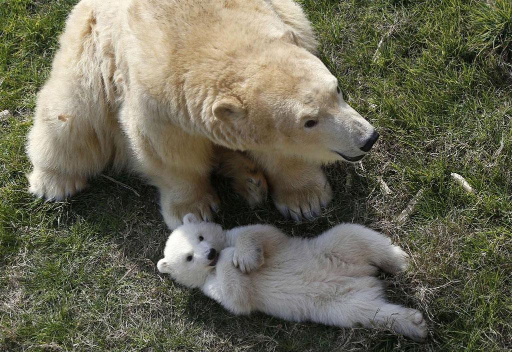 Một chú gấu Bắc Cực con, sinh vào ngày 26/11/2014, chơi đùa của mẹ ở ngoài trời tại sở thú Marineland, thành phố Antibes, French Riviera
