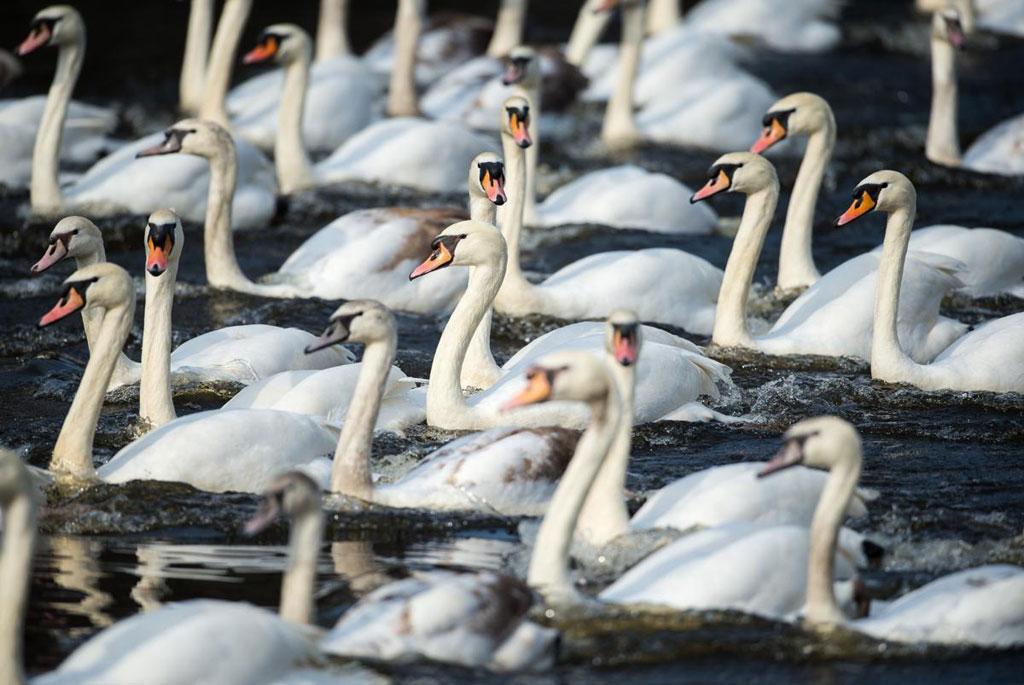 Thiên nga trắng bơi trên một cái hồ do sông Alster tạo nên, ở thành phố Hamburg, Đức.