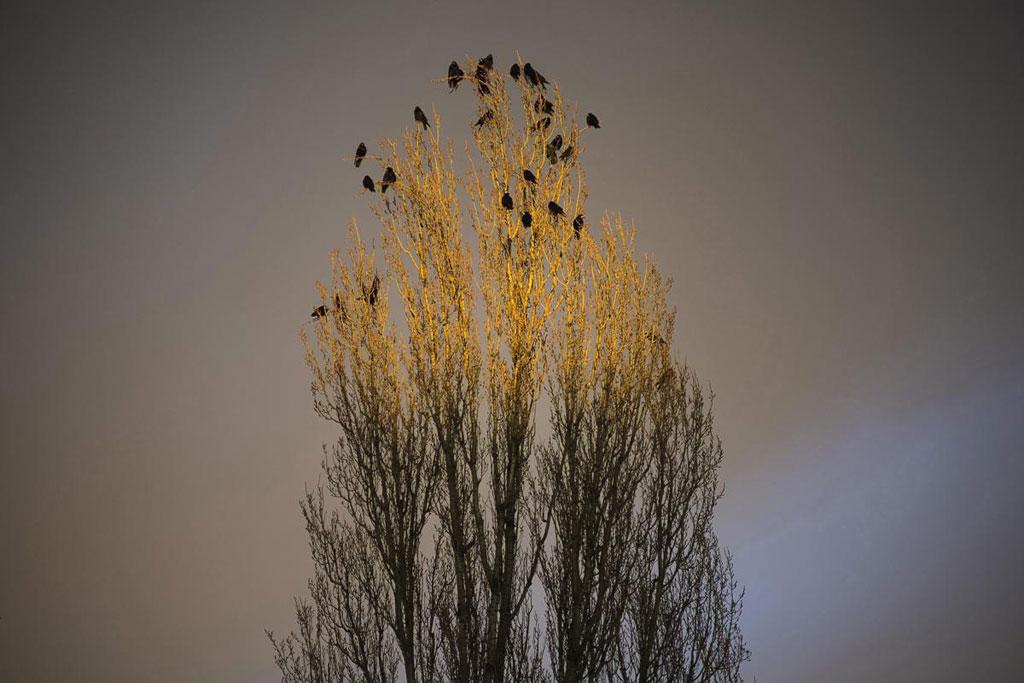 Những con quạ đậu trên một ngọn cây lúc hoàng hôn buông xuống Nyiregyhaza, cách thủ đô Budapest, Hungary 226 km về phía Đông