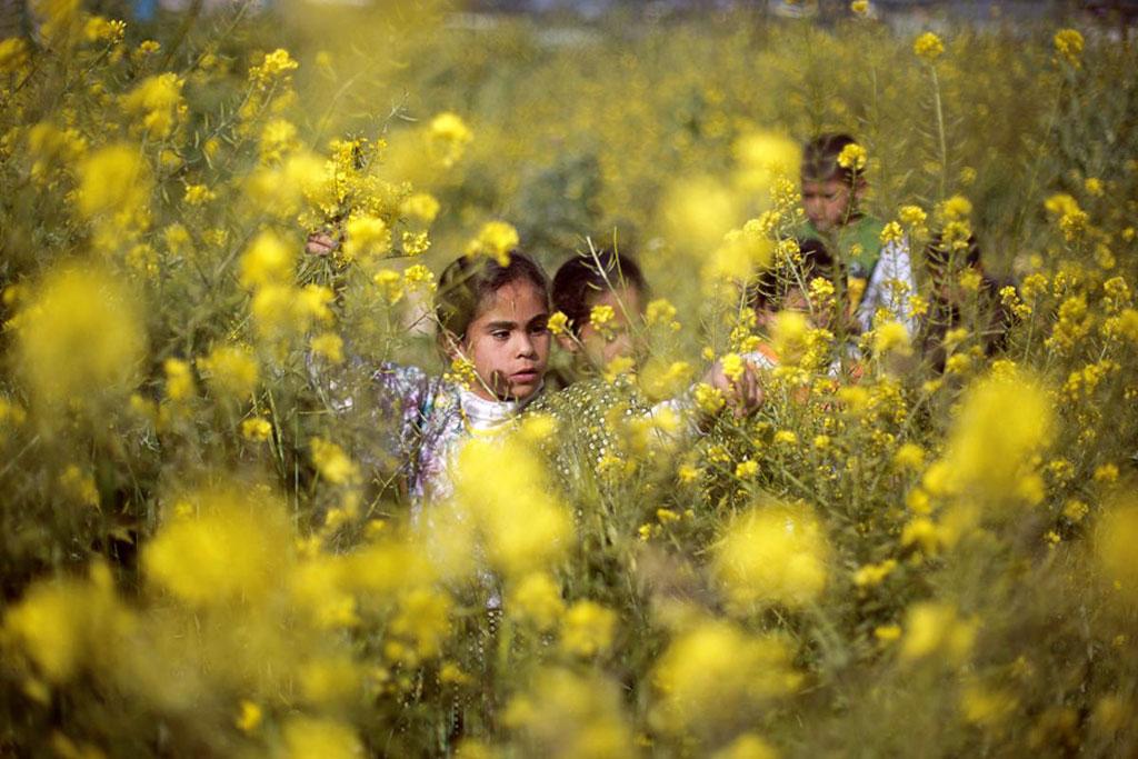 Các bé gái Palestine đi hái hoa mù tạt dại mọc trên những cánh đồng dọc Dải Gaza, khi tiết trời chuyển sang Xuân