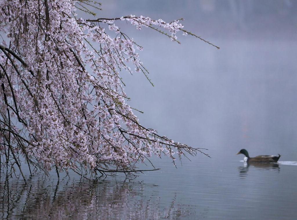Một chú vịt bơi gần cành cây liễu đang nở hoa bên hồ Avondale trong ngày Xuân phân ở Avondale Estates, Georgia,