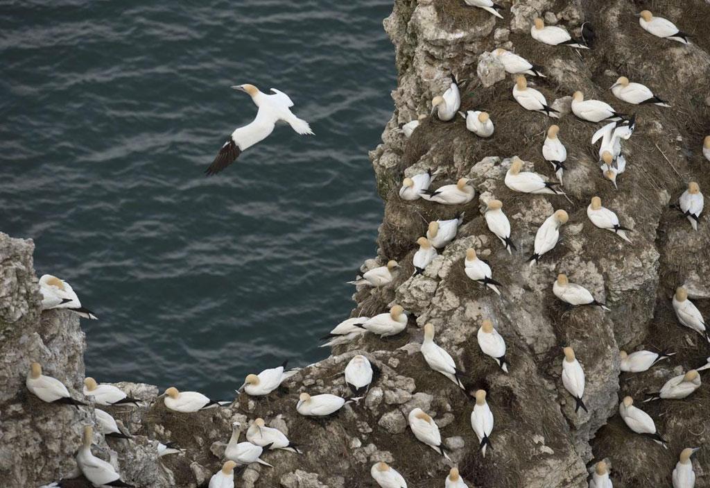 Những con chim điên (Gannet) làm tổ thành đàn bên vách đá Bempton, gần Bridlington, phía Bắc nước Anh