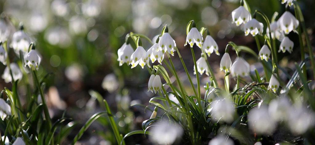 Hoa giọt tuyết nở rộ tại thung lũng Maerzenbechertal, gần Emeringen, Đức.