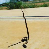 Nhện giết rắn, treo xác lên mạng để ăn dần