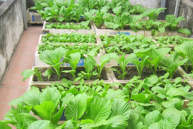 Trồng rau cải sạch trong thùng xốp trên sân thượng