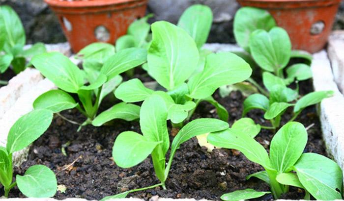Rau cải xanh có thể được gieo hạt hoặc trồng bằng cây con