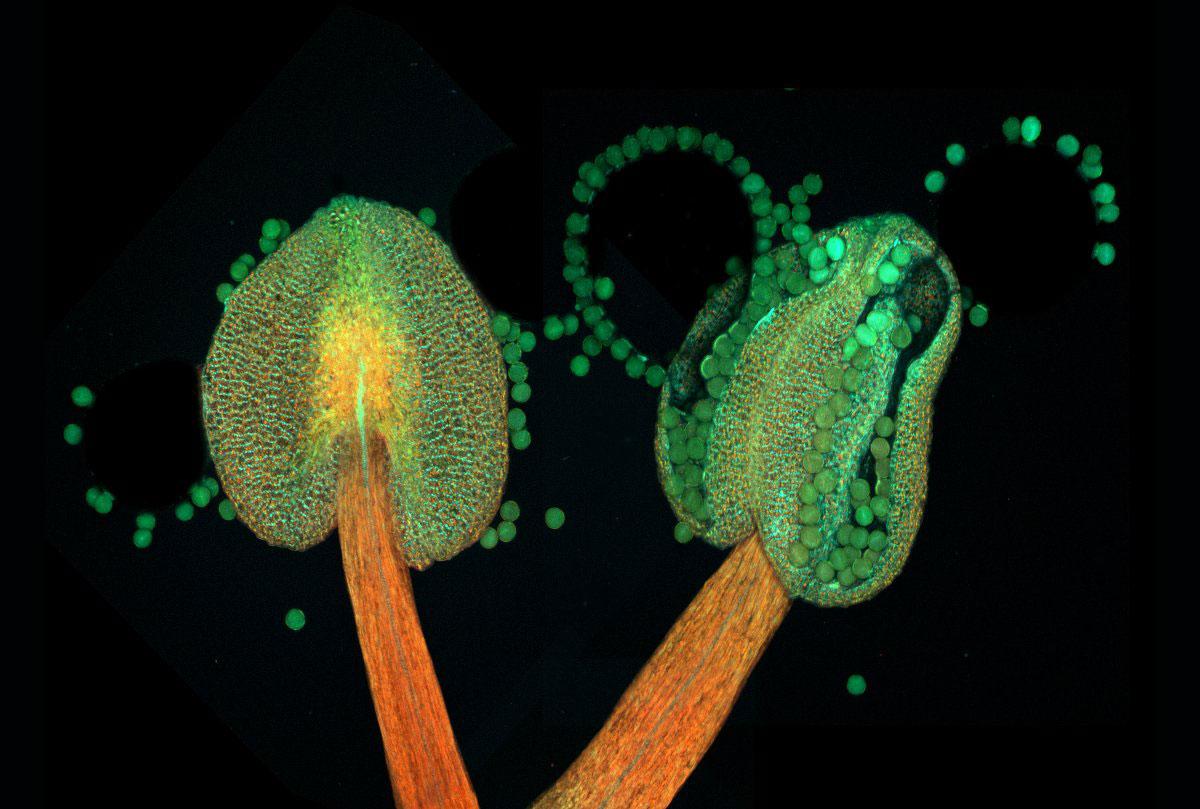 Arabidopsis đang nở hoa (một loại thực vật có hoa thuộc họ cải, độ phóng đại 20 lần)