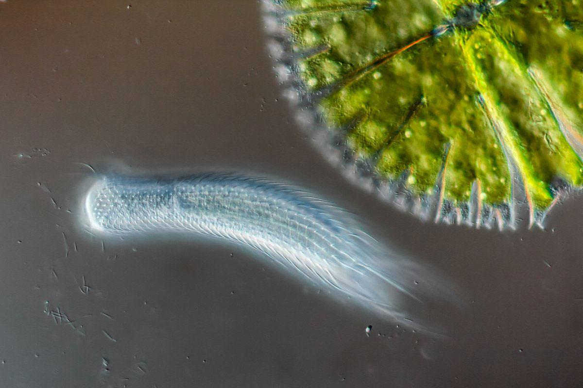 Một loại sâu đuôi lông (bên dưới) bên cạnh tảo (bên phải) (Độ phóng đại 400 lần)