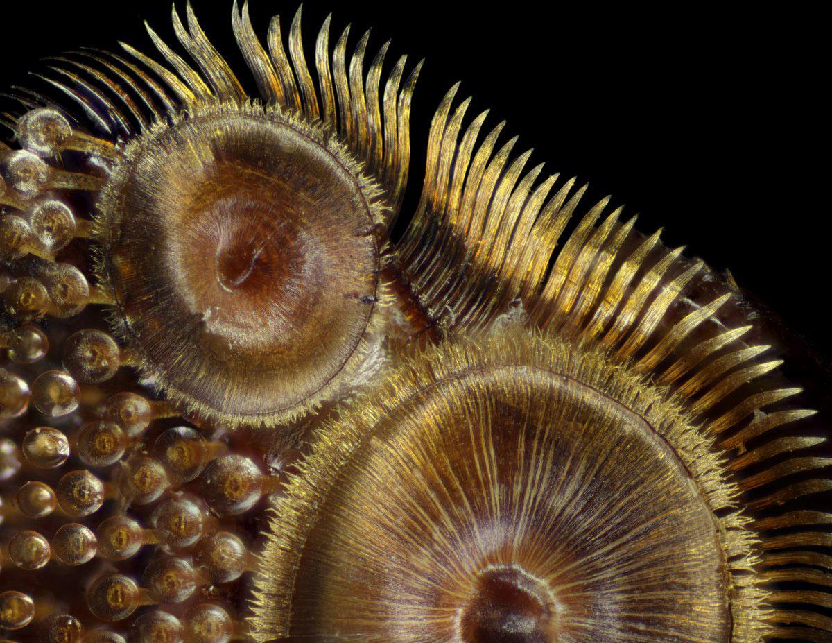 Những cái giác hút trên một con bọ cánh cứng đang lặn dưới nước (độ phóng đại 50 lần)