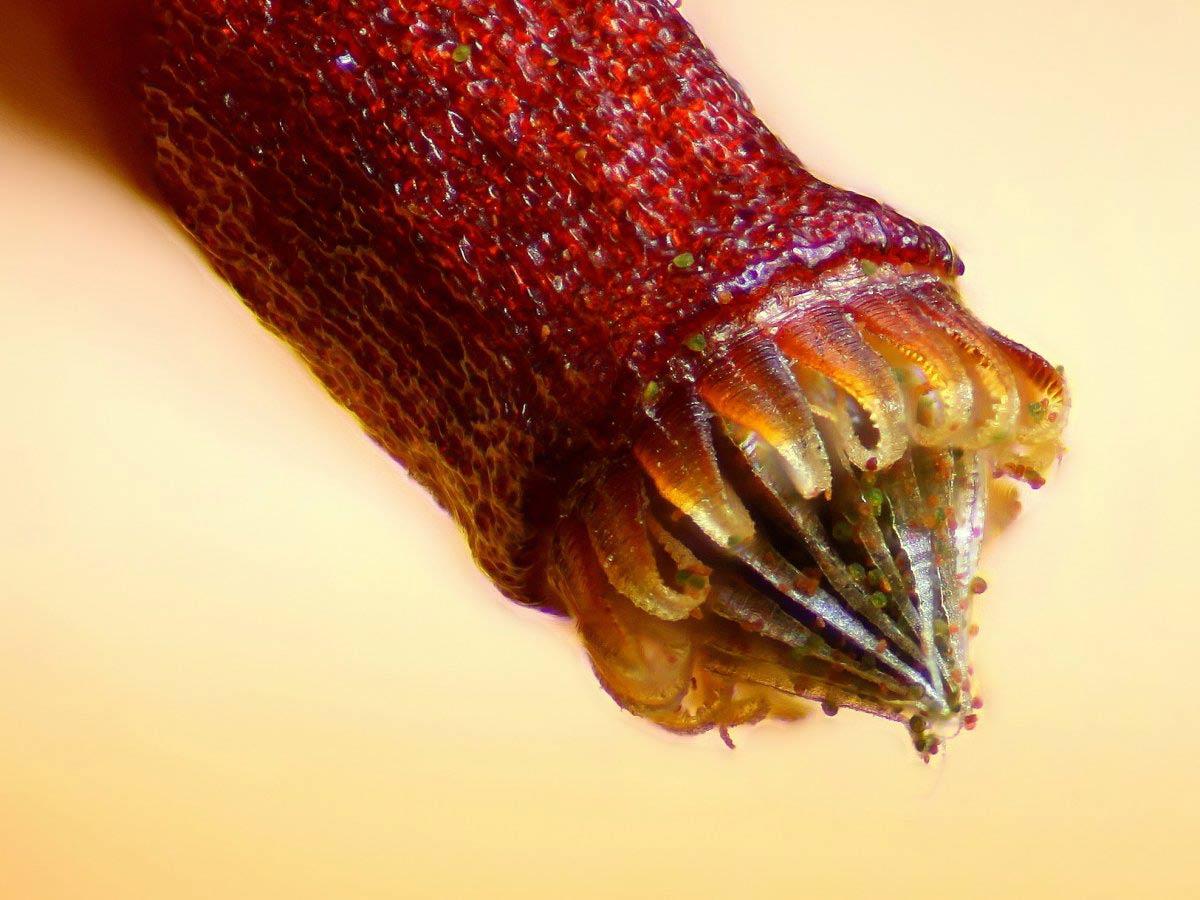 Nang bào tử rêu