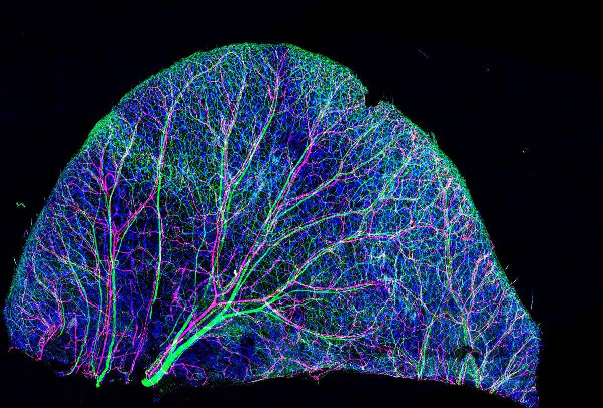 Dây thần kinh và mạch máu trên da tai chuột (độ phóng đại 10 lần)