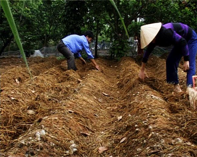 Vật liệu chính trong kỹ thuật trồng nấm rơm là rơm được ủ