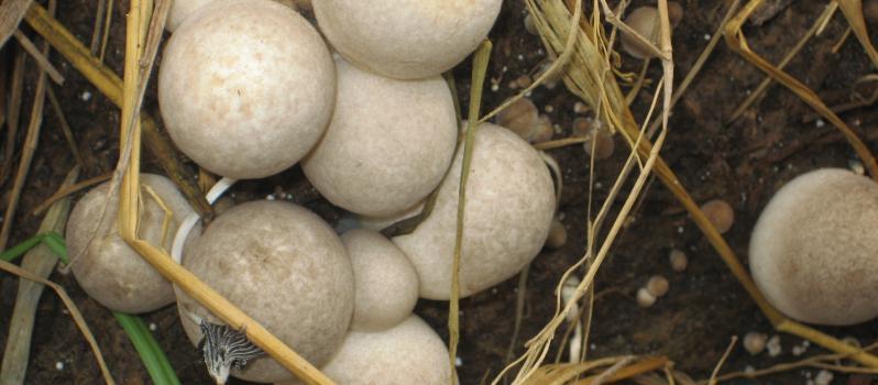 Nấm rơm là loài ngắn hạn, nhanh cho thu hoạch