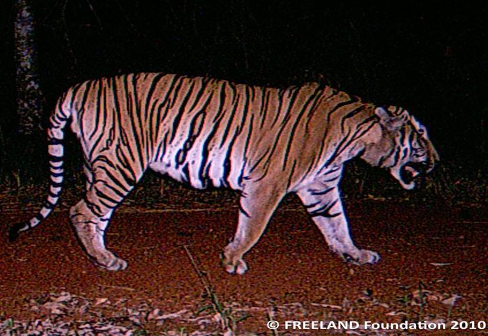 Loài hổ bị ảnh hưởng lớn do tác động của con người gần trung tâm vườn