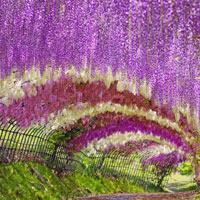 Chiêm ngưỡng những cánh đồng hoa đẹp hút hồn ở Nhật Bản