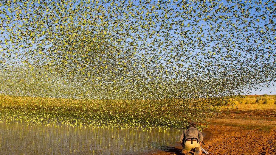Đàn chim yến phụng