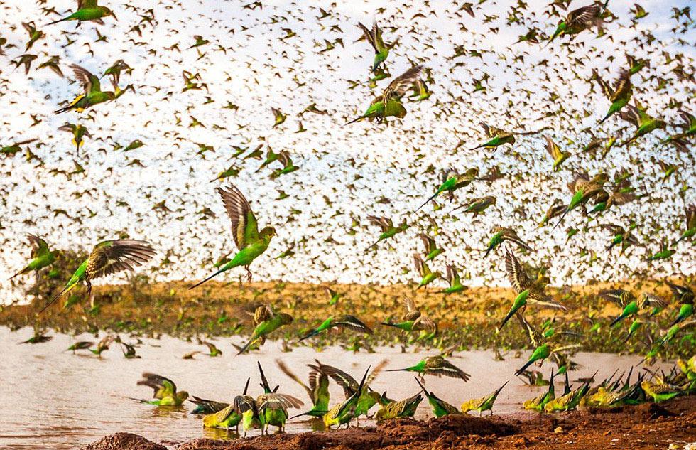 Đàn chim yến phụng đang tìm nước uống