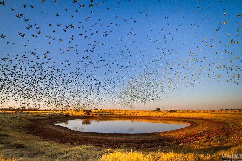 Chim yến phụng dễ lọt vào tầm ngắm của các loài săn mồi bởi chúng có màu sắc sặc sỡ.
