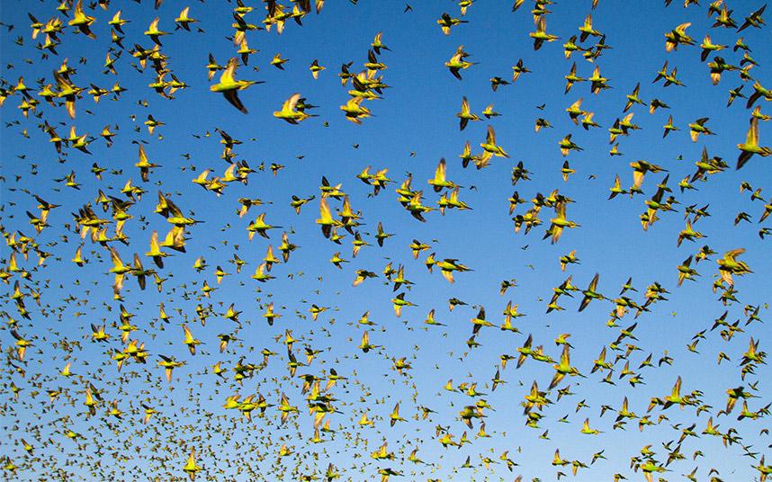 Chim yến phụng thường bay theo đàn với số lượng lớn.