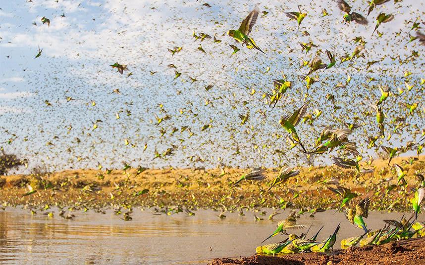 Những con chim yến phụng bay kín hồ nước.