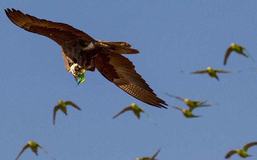 Một con chim ưng tận dụng cơ hội để săn mồi.