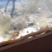 Video: Sâu khổng lồ trốn trong bể cá cảnh suốt 2 năm