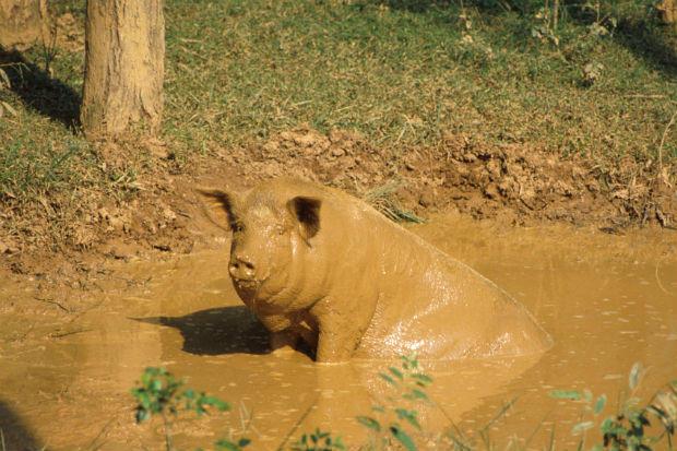 Lợn thích tắm bùn