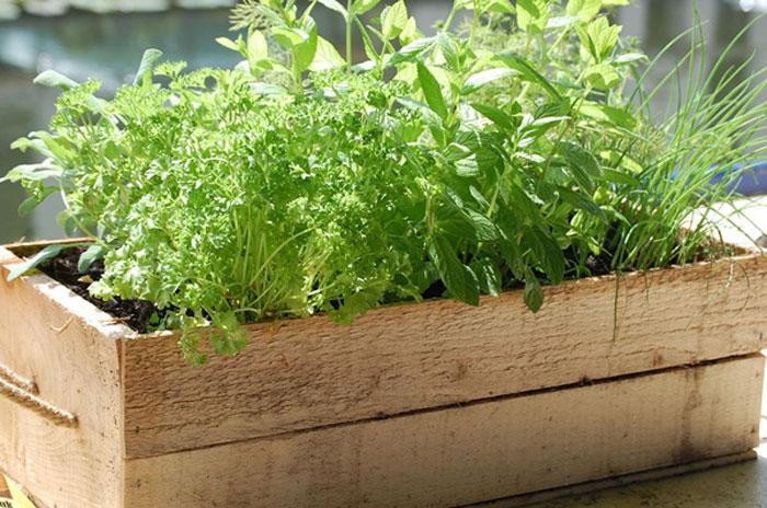 Thường xuyên tưới nước để rau thơm phát triển tốt nhất