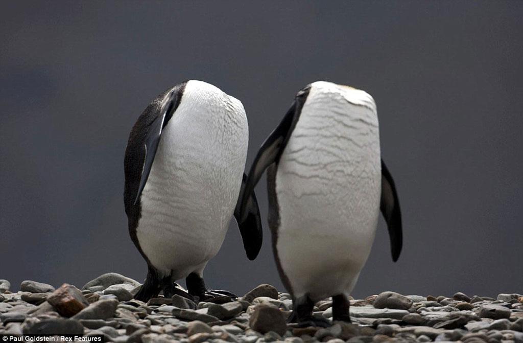Chim cánh cụt vua dường như không có đầu