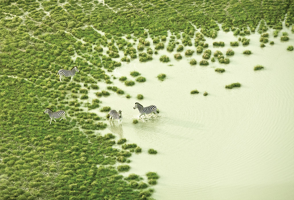 Ngựa vằn uống nước