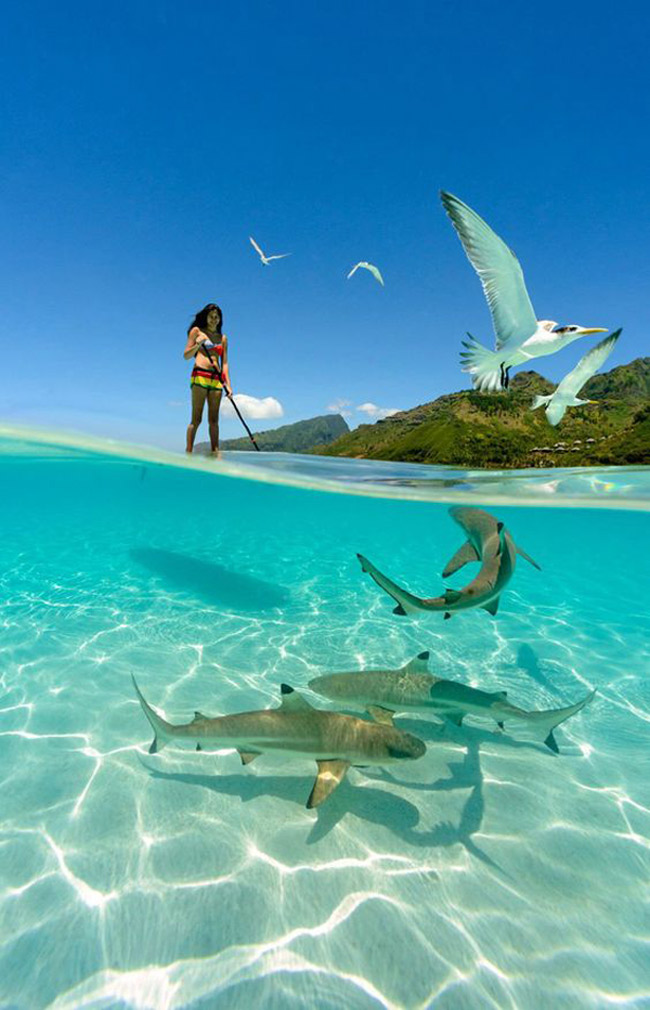 Những con cá mập ở Polynesia, Pháp