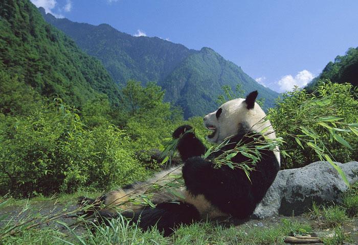 Toàn bộ khu bảo tồn Gấu trúc Tứ Xuyên gồm nhiều danh thắng và cảnh quan thiên nhiên rất đẹp và rộng lớn