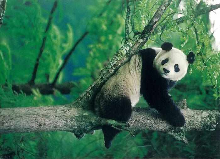Gấu trúc bị xếp vào danh sách có nguy cơ tuyệt chủng bởi đặc điểm của loài này là sinh sản ít, tỉ lệ con chết cao
