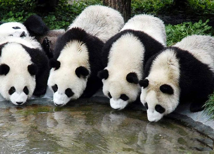 Khu bảo tồn gấu trúc lớn ở Tứ Xuyên thu hút rất đông du khách thăm quan, đặc biệt là những người yêu động vật từ khắp nơi trên thế giới.