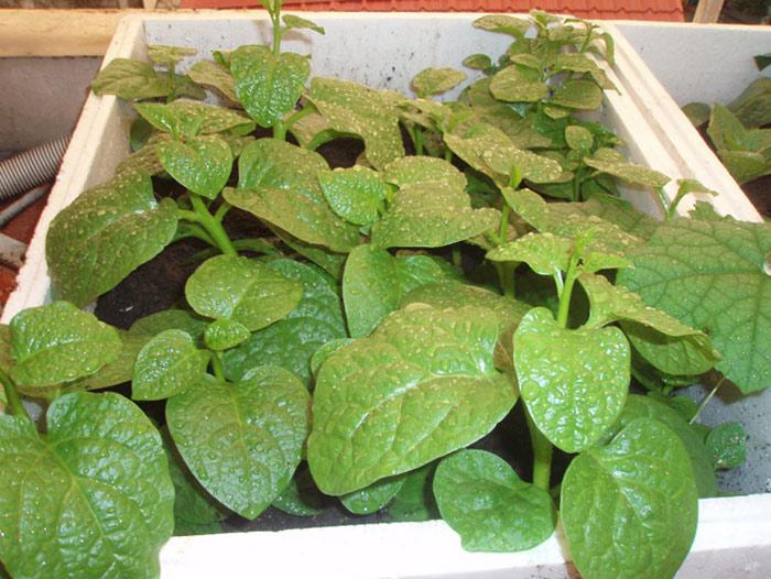 Cây trồng trong thùng xốp sẽ cho thu hoạch sớm hơn